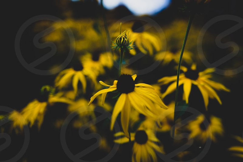selective focus photography of yellow blackeyed susan flowers photo