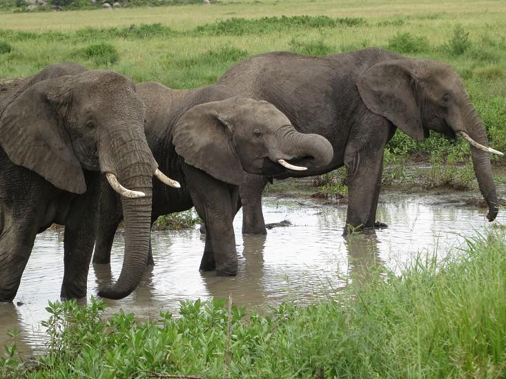 three grey elephants photo