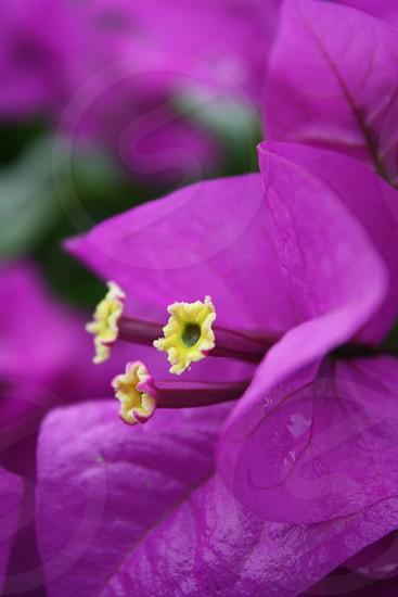 flower in Costa Rica photo