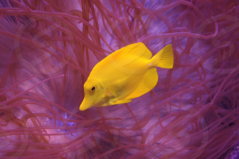 yellow fish in fish tank photo