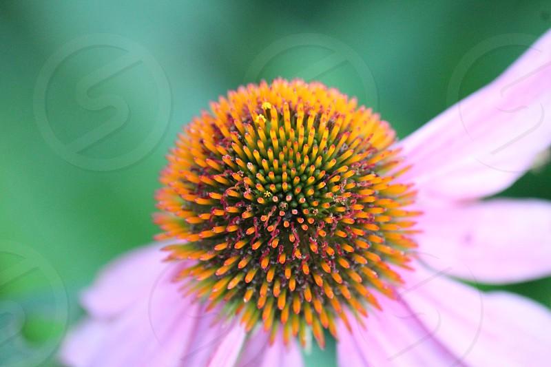 pink flower pistil macro shot photo