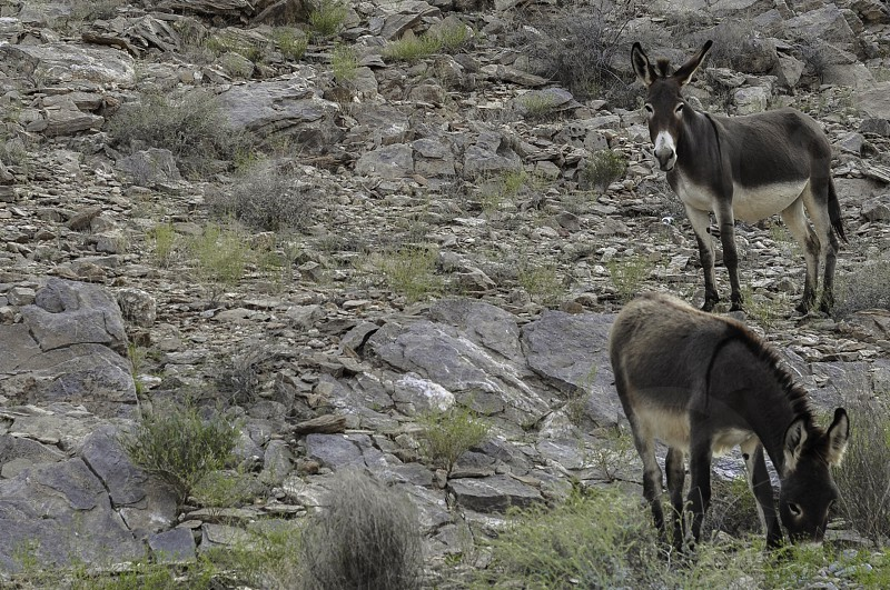 brown and white two donkeys on rocky field photo
