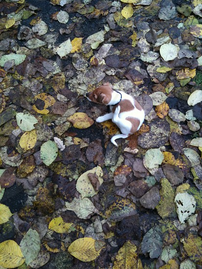 jack russel puppy exploring the new world and having a good scratch in autumn 8 weeks old photo