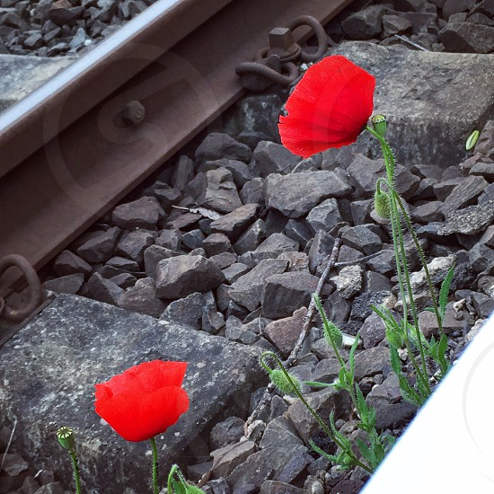 tulips flowers nature red beauty trainstation village home  photo