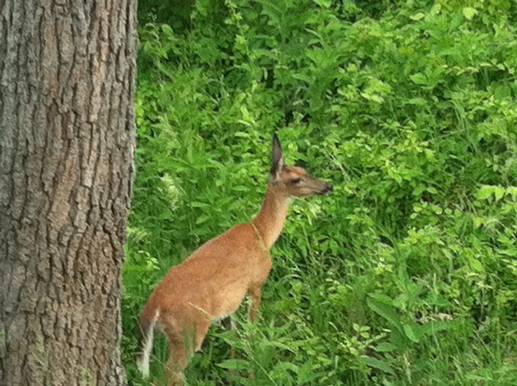 Was walking through Antietam state park when we saw this deer. We watched it silently for a few minutes took this picture and moved on. photo