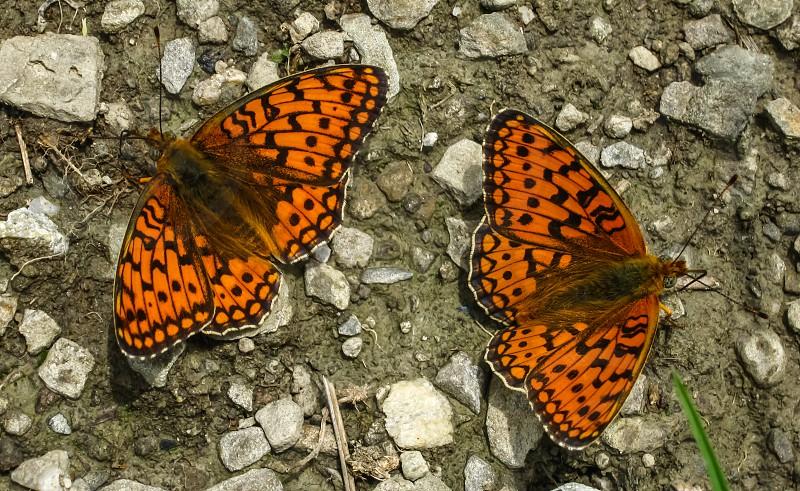 Butterflies love - Apuseni mountains Mogos village Alba county Romania 1000m 23-06-2013 photo