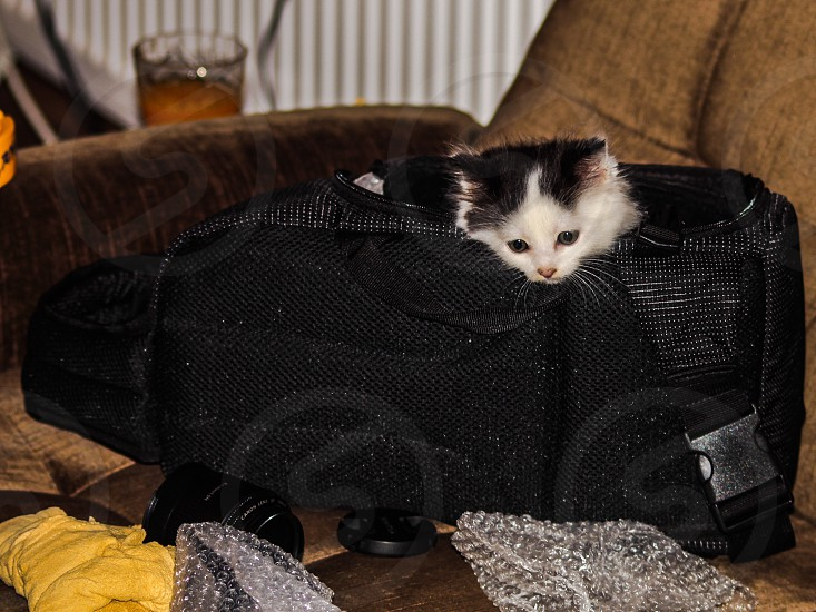 white black kitten with head pepping out over black mesh carrier photo