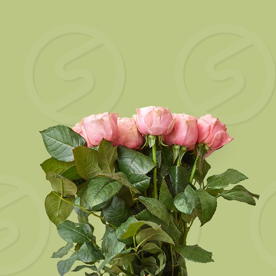 Fresh beautiful bouquet of pink roses on a green background. Flower composition as a greeting card photo