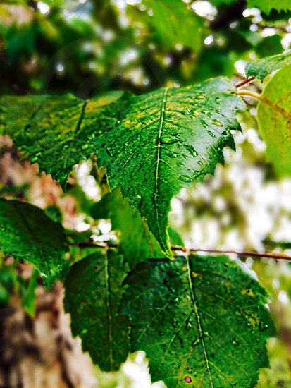 green leaf with raindrops photo