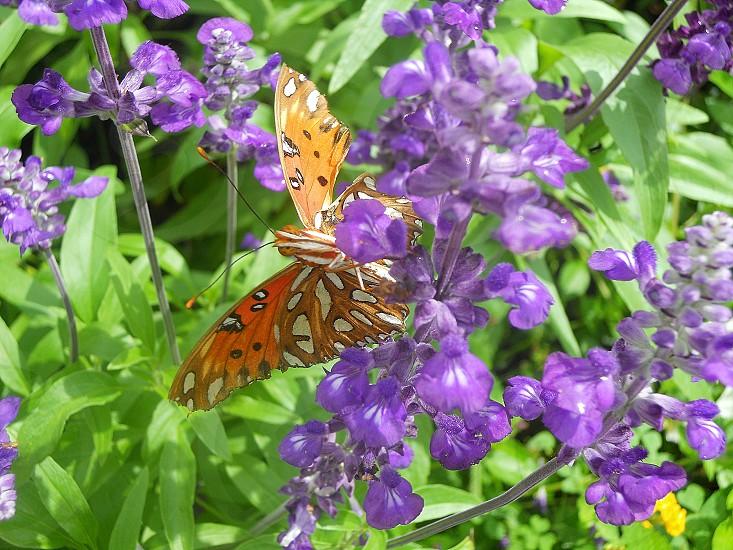 Orange Butterfly on Purple Flowers photo