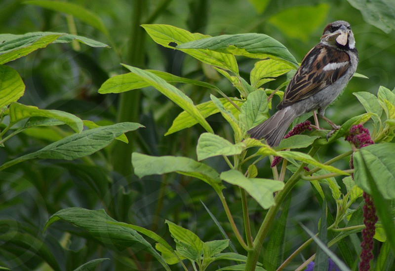 Sparrow with moth in the garden photo