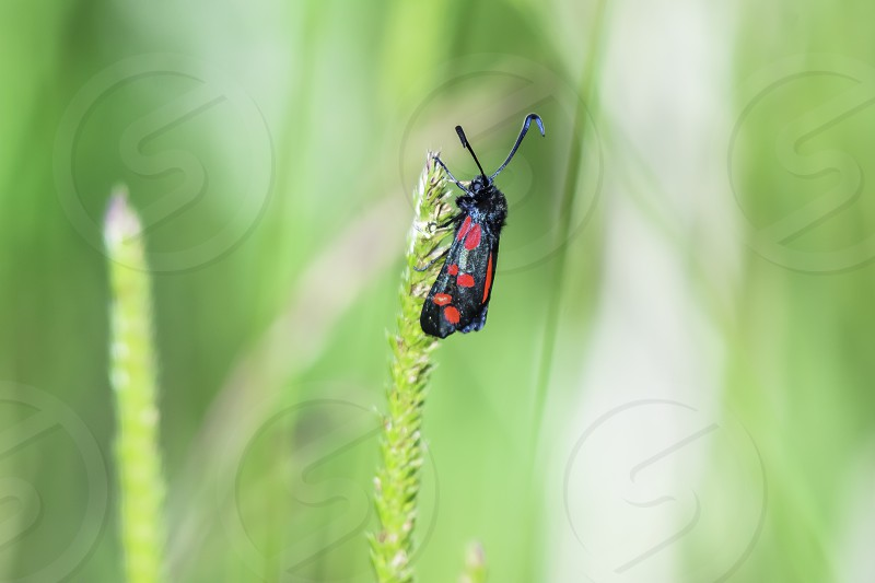 Six-spot burnet Zygaena filipendulae colourful moth with red spots on black wings sitting on plant growing on british meadow in summer.Nature uk.Blurred natural background and selective focus.Fluorescent insect. photo