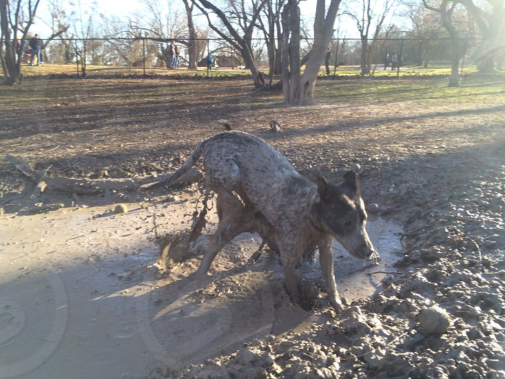 white and black short haired dog at the mud photo