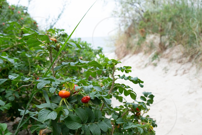 mature large sea buckthorn is ready for picking photo