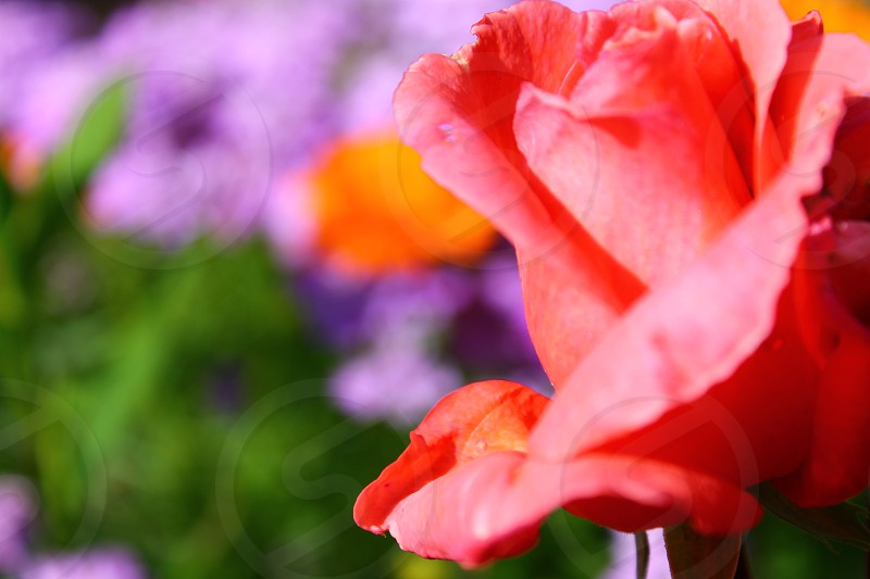 flowers in the summer... photo