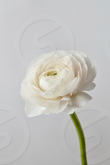 white beautiful ranunculus flower on a gray backgroundwedding greeting card photo