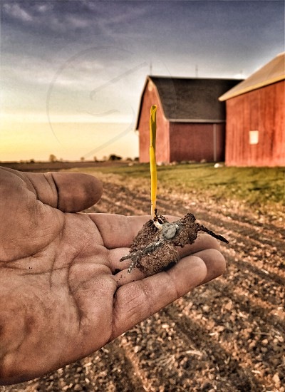 Held in the palm of my hand is a sprouting kernel of corn amongst the bygone days of old agriculture with an aged Red barn photo
