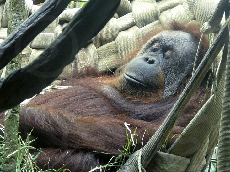 Gorilla relaxing in a hammock photo