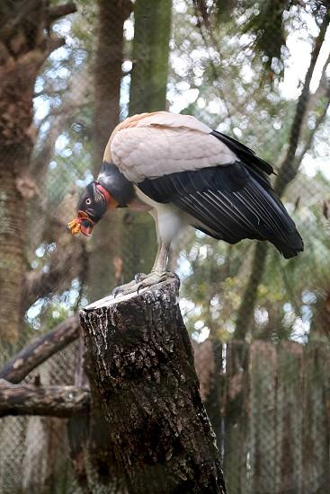 Captive vulture photo