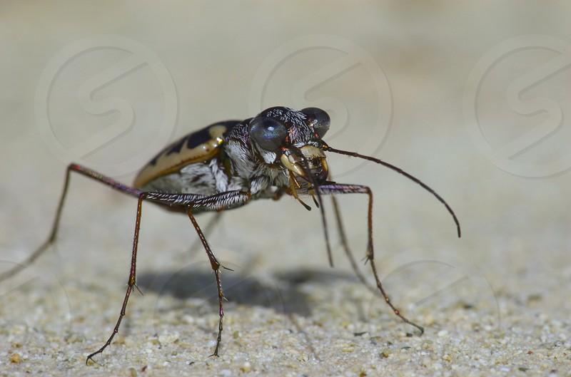 Tiger beetle Coleoptera Bahamas predator Cicindela insects photo