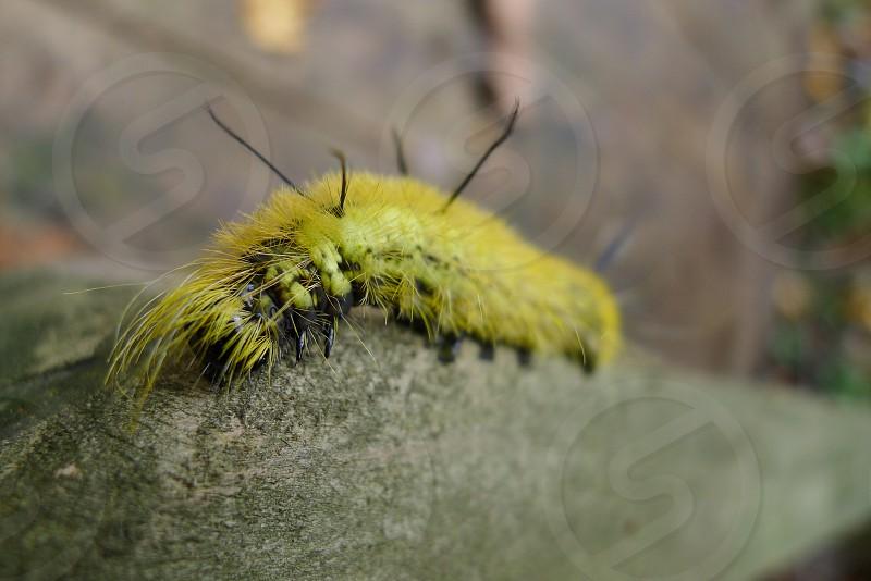 green caterpillar  photo