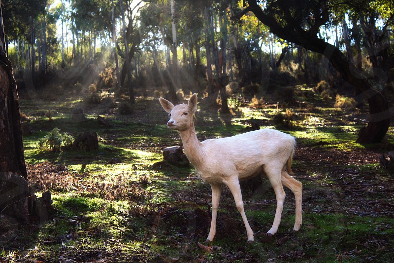 White fallow deer standing in a forest with sunlight piercing through the trees photo