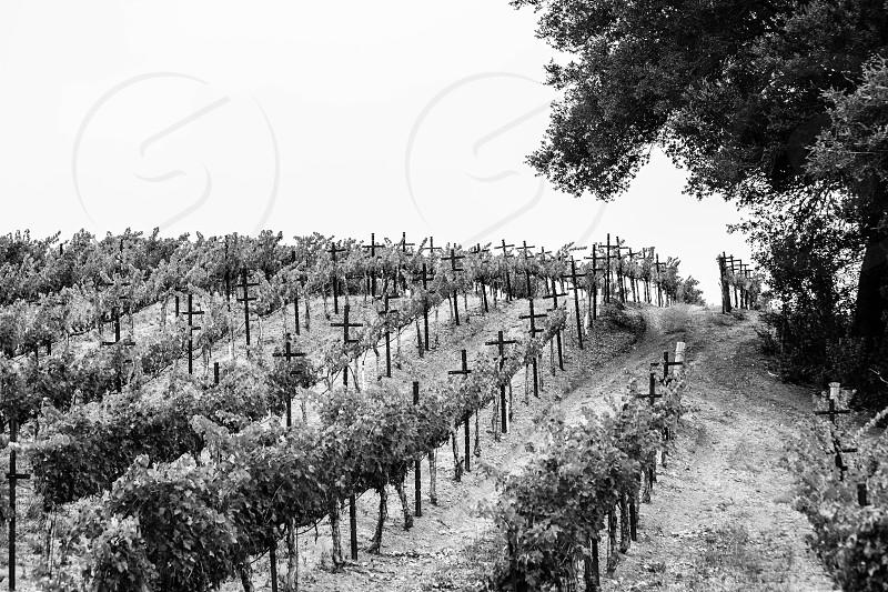 vegetable vine field photography  photo