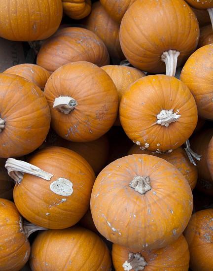 pumpkins mini pumpkins halloween fall autumn harvest pumpkin patch pumpkin farm farm photo