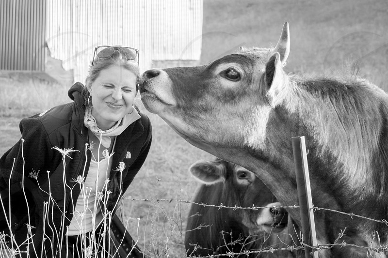 Getting kissed by a roadside cow. photo