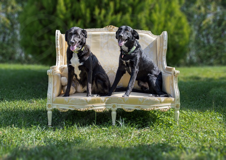 Two Dogs on the Fratelli Radice's Sofa photo