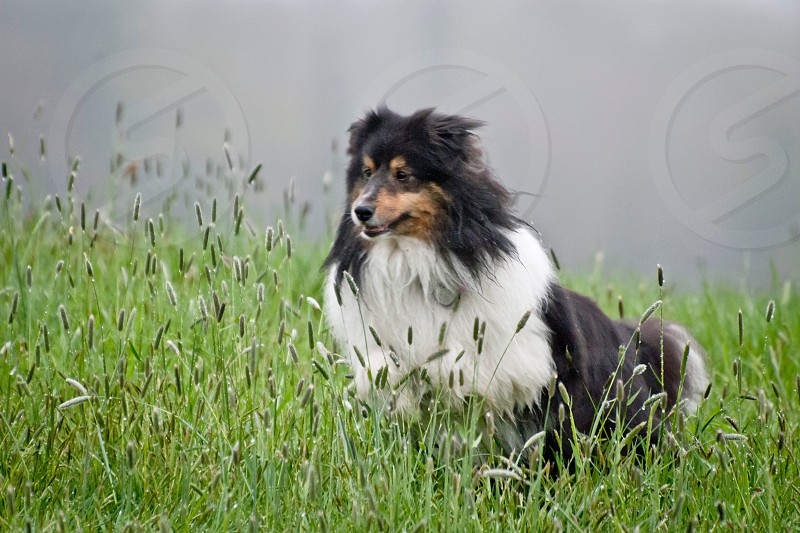 black brown and white long haired medium sized dog on green fields photo