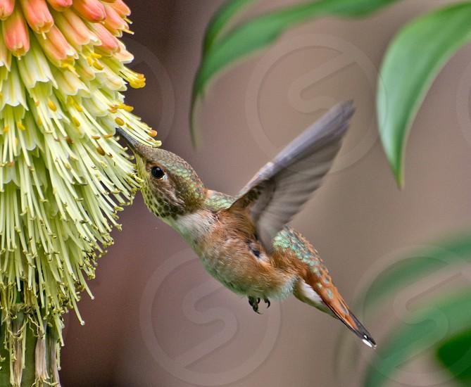 Humming bird feeding photo