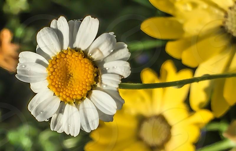white yellow flower photo