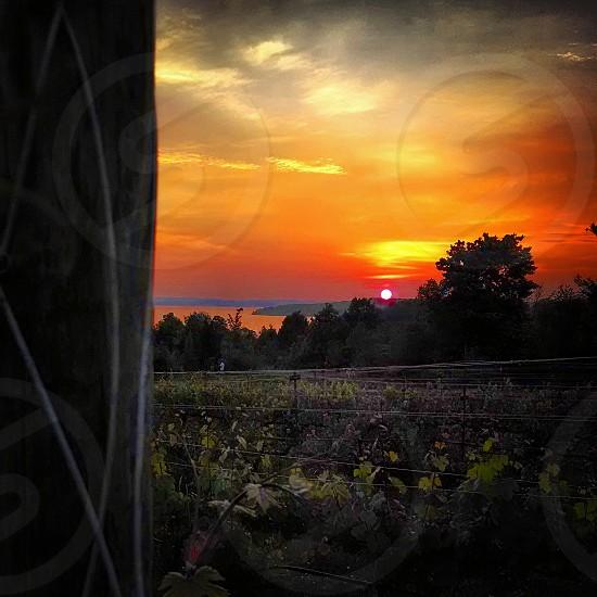 Vineyard sunset  photo