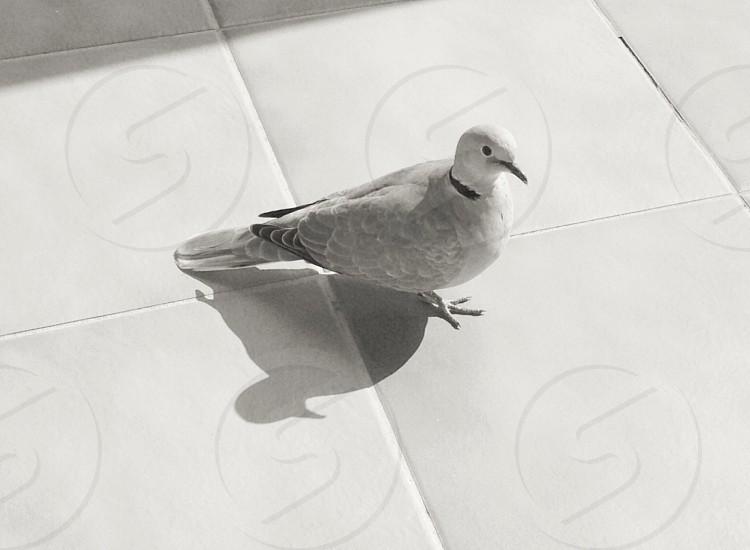 Ring necked dove photo