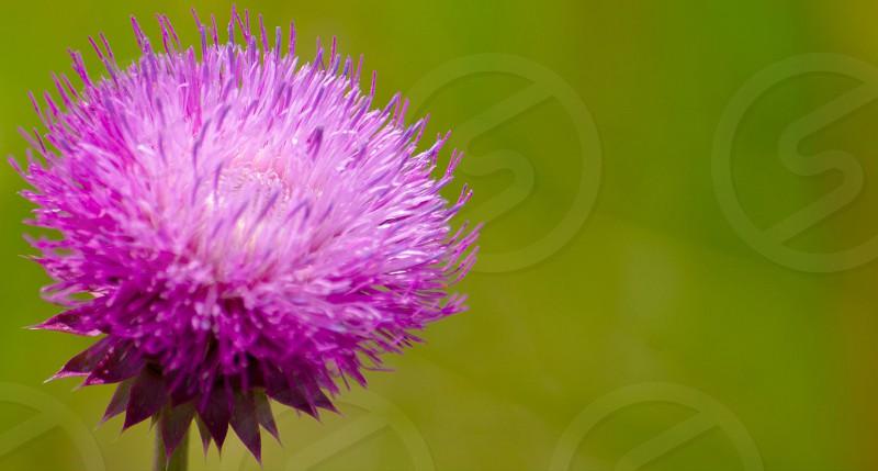 selective focus photography of purple gomphrena photo