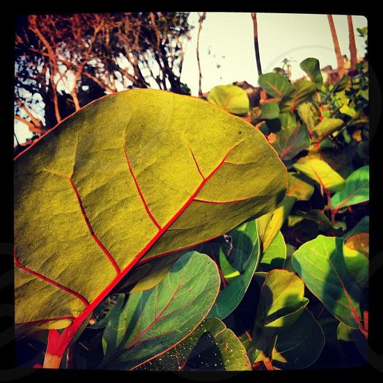 Green leaf red vein. photo
