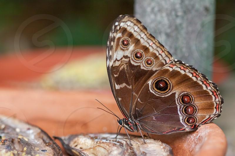 Blue Morpho Butterfly ( Morpho peleides) Feeding on Rotting Fruit photo