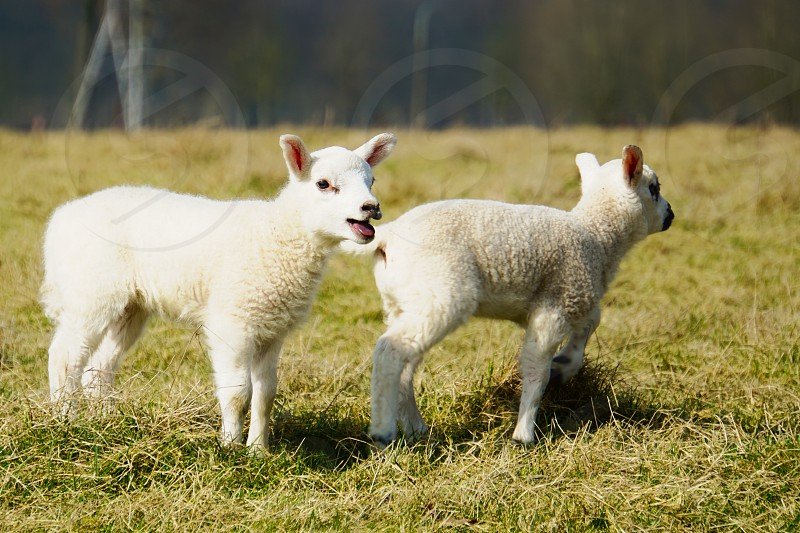 Two cute lambs singing in the spring sun photo