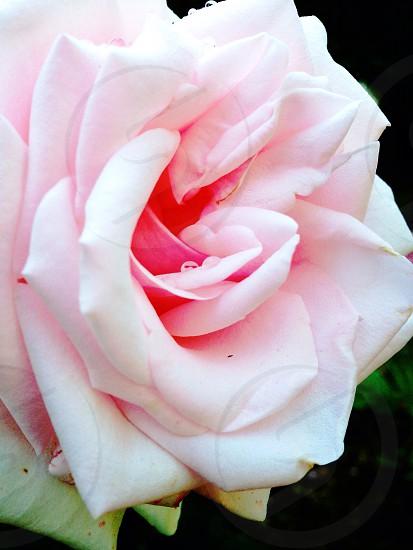 Rosy photo