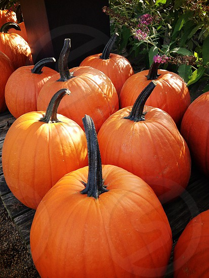 Jack-o-lanterns in waiting... photo