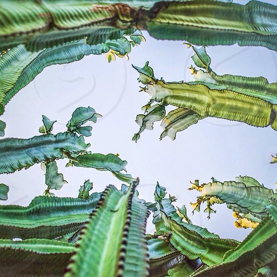 Tal green cactus photo