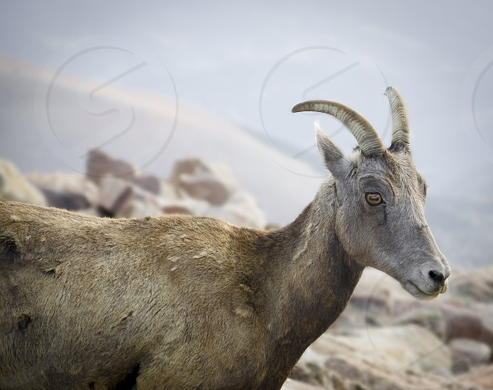 grey goat on selective focus photography photo