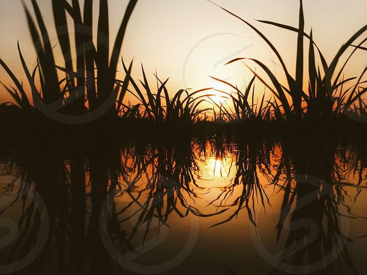 green grasses on swamp under sunset sky photo