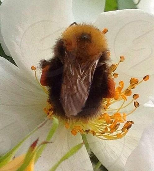 Fluffy Bee macro on stamen photo