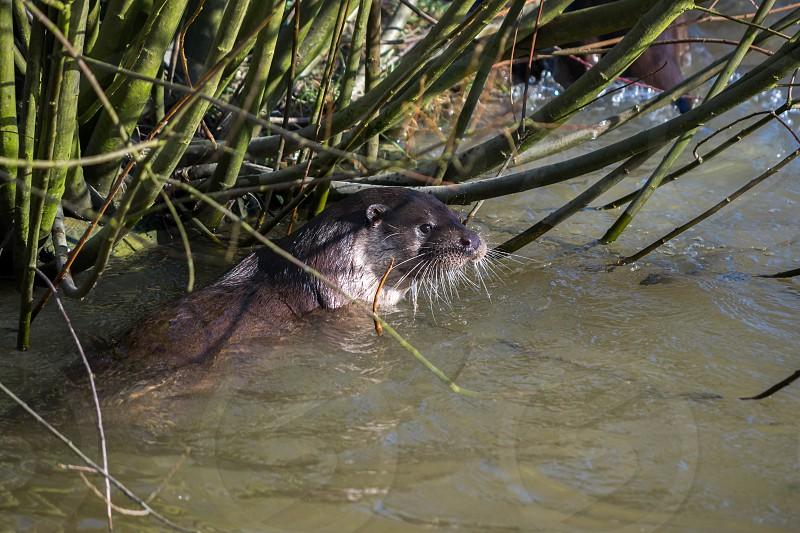 Eurasian Otter (Lutra lutra) in natural habitat photo