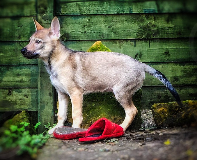 short-coated tan and black puppy near red home slippers standing in front of green painted wall photo