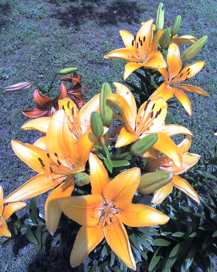 Lilies blooming in our yard. photo