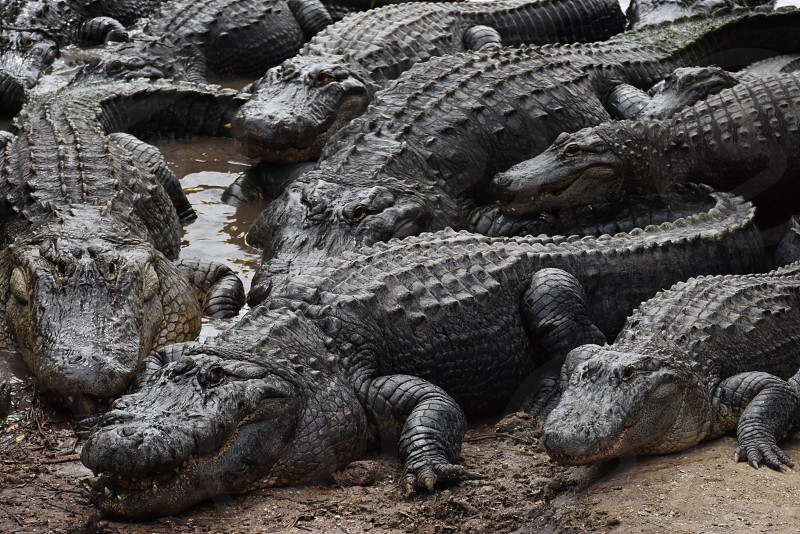 group of crocodiles near a swamp during day time photo