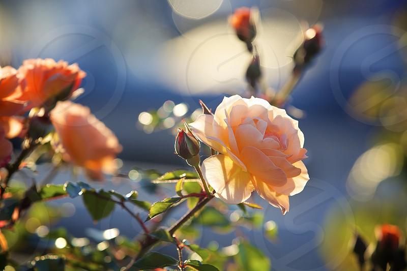 A fragile flower photo